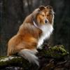 Акита-ину, Порода собак из Японии